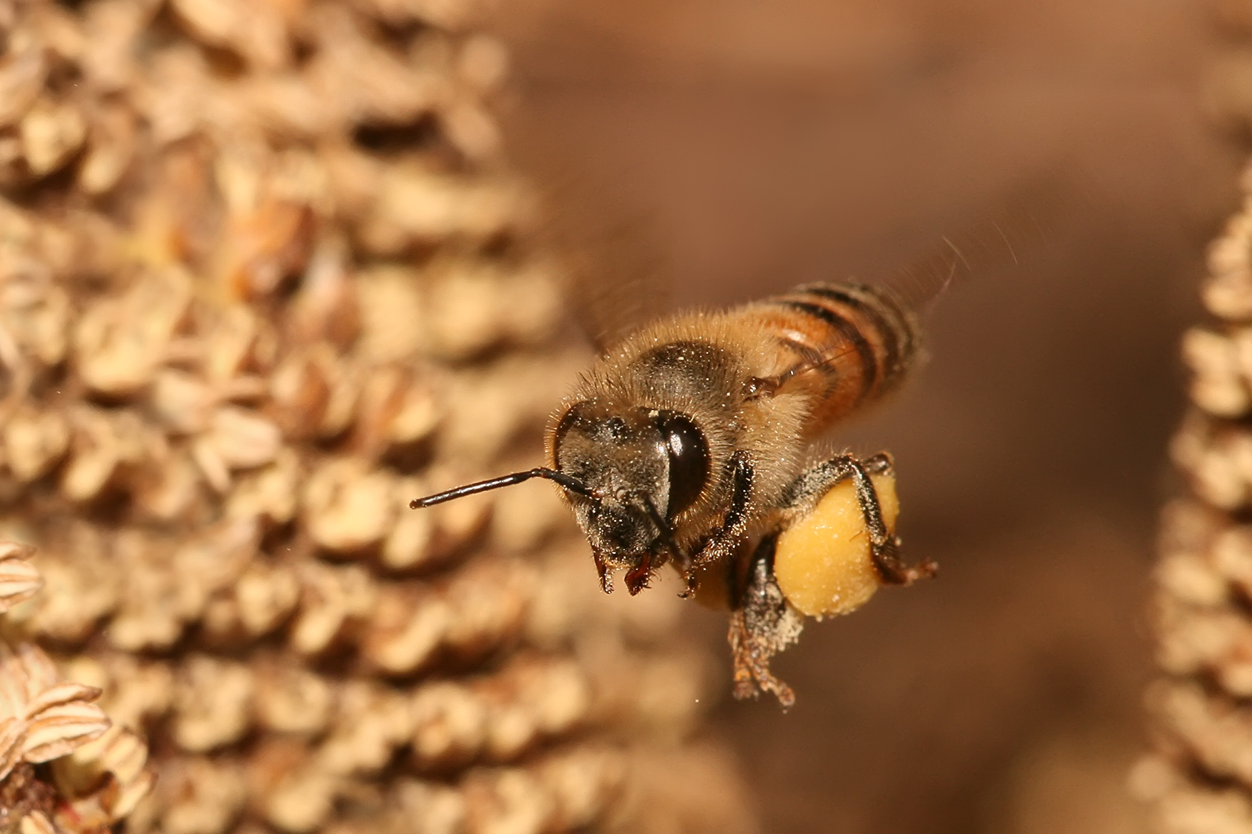 Apis_mellifera_flying