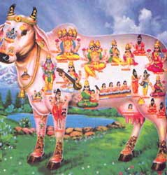 india_sacred_cow_hindu_holy_vegetar1
